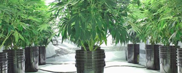 culture hors sol de cannabis